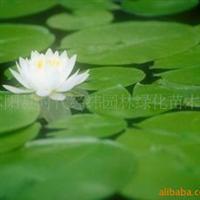 供应园林水生花卉-荷花、莲花/灌木