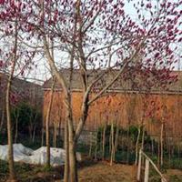 供应绿化苗木-花木-白玉兰