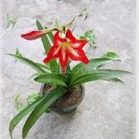 供应球根花卉-花木-朱顶红,孤挺花、朱顶兰、百去莲