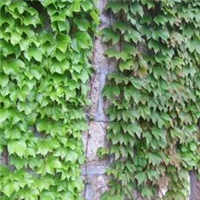 绿化苗木垂直绿化植物常青藤,香叶吊兰,爬山虎,五叶地锦基地