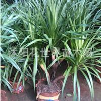 室内盆栽龙铁树龙血树四季常青吸收甲醛净化空气龙须铁