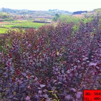 湖北新龙苗圃出售紫叶李小苗