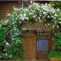 花木大户直销蔷薇月季、及月季种子