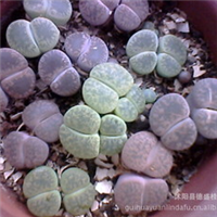 供应优质的生石花种球、颜色齐全盆栽花卉
