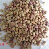 低价销售油松种子、樱桃种子、蝴蝶兰种子、软枣种子等花木