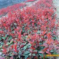 供应批发石楠种子、酸枣种子、珙桐种子、悬铃木种子等花木种子