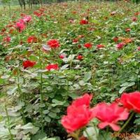 自产自销低价供应红帽月季.玫瑰