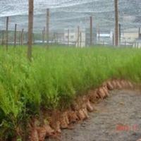 【基地直供】红豆杉二年苗