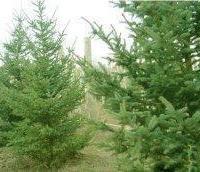 山东泰安供云杉,高度6米,冠幅3米