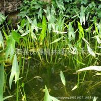 供应慈姑水生植物绿化苗木
