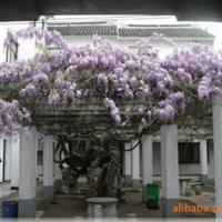 出售优质绿化苗木藤本植物紫藤紫藤花紫藤树多花紫藤庭院栽植