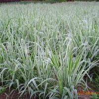 出售优质绿化苗木玉带草金边玉带草