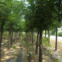 苗木大量供国槐苗,国槐3年冒,质优价廉,欢迎订购