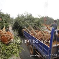 【朴树供应】来游兴苗圃专业种植朴树品质齐价格优先看货后订购