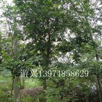 质量第一价格实惠成活率高规格齐全上货迅速12公分的湖南朴树