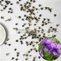 大量批发紫花地丁种子龙胆地丁甜地丁优质中草药种子药材种子