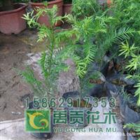 大量批发50cm高红杉苗8元一棵