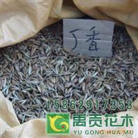 常年直销优质绿化苗木灌木种子丁香种子丁香花种子