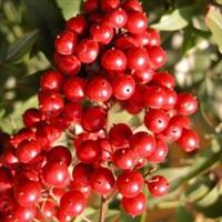 批发优质红天竹种子,罗汉松种子等优质种子