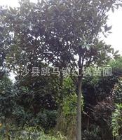 湖南跳马苗圃基地厂价供应优质园林绿化苗木6-12广玉兰