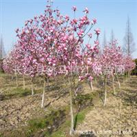 湖南苗圃大量供应园林绿化苗木5-10公分紫玉兰规格齐全价格低廉