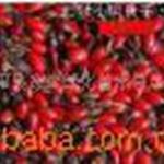 供应月季种子丰花月季工程苗微型月季销售