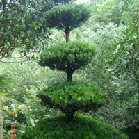 大量供应绿化苗木5-9公分罗汉松2011001