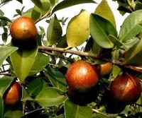 大量供应优质精品油茶籽油品种优良欢迎选购