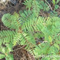 海南热带绿化树苗木——蓝花楹小苗