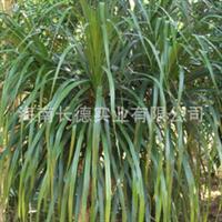 常年供应绿化苗木——龙血树