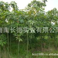 常年供应海南发财树中苗