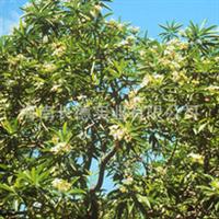 海南热带植物苗木——海檬果