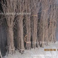 苗木直销湖北十堰1-1.5米银杏苗白果树苗
