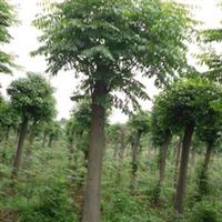 优质栾树10公分优质优量栾树