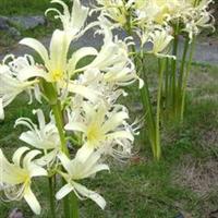 供应水生植物耐寒地被植物-石蒜白花石蒜乳白石蒜