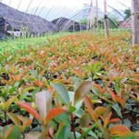供应个省绿化苗木红叶石楠穴盘苗红叶石楠网袋苗(图)