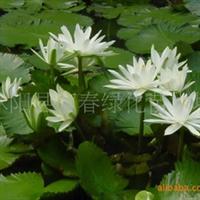 供应水生植物优化水自在荷花千屈菜、碗莲黄菖蒲水葱再力花