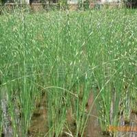多年生宿根挺水植物花叶水葱浅水或湿地栽种水生植物