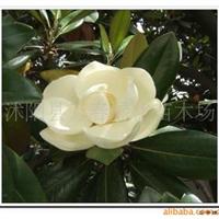 出售园林绿化苗木广玉兰苗联系电话广玉兰乔木规格1-25公分