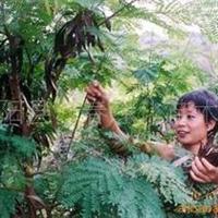 供应绿化种子合欢种子合欢种子价格合欢种子江苏万春种子站