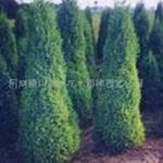 皂荚,日本红枫,美国红枫,水杉,苏格兰金莲树,山核桃,丝棉木价格表