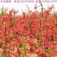 冠径0.3-2米木瓜海棠、梨花海棠、秋海棠、棣棠、糯米条价格表