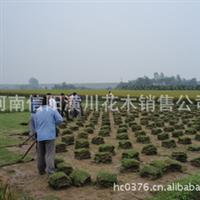 8-200紫叶酢浆草,活血丹,蛇莓,红花葱兰,白花葱兰,剪股颖价格表