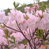 金缕梅,金焰绣线菊,金叶莸,金雀儿,接骨木,金山绣线菊价格表