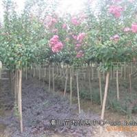 诚信苗圃场大量供应园林绿化苗木百日红;紫薇
