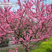 特价出售各种规格精品朴树绿化苗木苗木批发湖北武汉