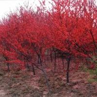 苗圃基地大量出售红叶碧桃2-6公分