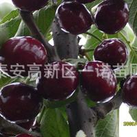 重庆适合种植车厘子樱桃苗车厘子樱桃树乌皮樱桃紫珍珠甜樱桃