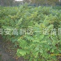 安徽供应优质香椿红香椿苗价格宿迁香椿苗