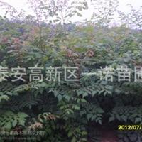园林苗木北栾小苗苦楝小苗北海道黄杨